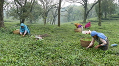 India agriculture, manual labor, women pick tea on green plantation - stock footage