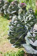 Ornamental cabbage in a garden Stock Photos