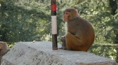 Eating monkey in the forests of McLeod Ganj in India Stock Footage