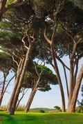 Stock Photo of Maritime Pine tree group. Baratti, Tuscany.