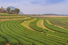 green tea farm on the hill at north of thailand - stock photo