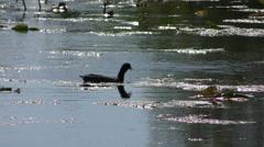 Moorhen duck 4K Stock Footage