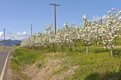 Apple orchards in Hood River Oregon. - stock photo