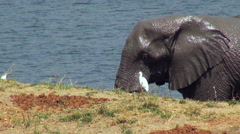 African Elephants and bird near watering hole. Stock Footage