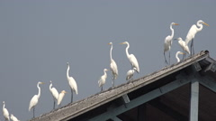 Lurking white herons on roof of fish market, Mumbai India Stock Footage