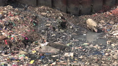 Polluted river in Mumbai slums, trash, waste, garbage, feeding pigs, poverty Stock Footage