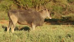 Feeding eland antelope, Mokala National Park, South Africa Stock Footage