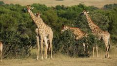 Giraffes in natural habitat, African safari, South Africa Stock Footage