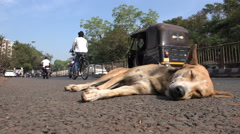 Indian stray dog takes a rest on a busy road Stock Footage