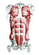 Anatomy of abdominal muscles in watercolor and pencil. Hand drawn. - stock illustration