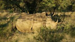 White rhinoceros in natural habitat, African safari, South Africa Stock Footage