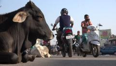 Sacred cows take a rest in the middle of the road, Puri, India Stock Footage