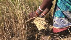 Rural India, woman harvesting rice using a traditional sickle - stock footage