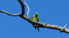 Pair of green parrots copulate on tree branch Stock Footage