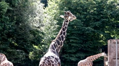 Giraffe turned away from the public. How do you me bored Stock Footage