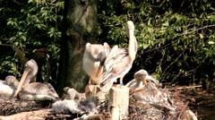 Pelicans preening its feathers and the resting on the coast in Zoo of Duisburg. Stock Footage
