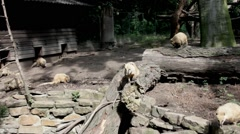 South american coati at the zoo in Duisburg. Germany Stock Footage