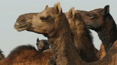 Stock Video Footage of Herd of camels in Indian desert town