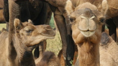 Alert camels look into the camera in the deserts of Pushkar in India - stock footage