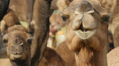 Alerted camels look into the camera creating a funny scene in India Stock Footage