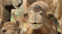 Portrait of a curious camel looking into the camera, India Stock Footage