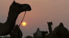 Camel, sunset, silhouette, head, neck, herd, group, travel, India - stock footage