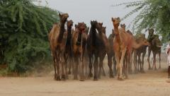 Herding camels through the Pushkar deserts, India Stock Footage