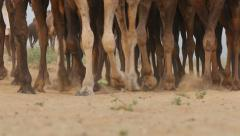 Legs and feet of camels walking through the desert near Pushkar in India Stock Footage