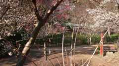 Motion Control Time Lapse of Japanese Plum Trees -Tilt Up/Pan Right- Pan Right Stock Footage