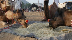 Camels are being fed during the Pushkar Camel Fair in India Stock Footage