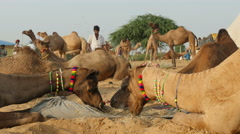 Pushkar Camel Fair, eating camels, desert camp, tourism, trading, India Stock Footage
