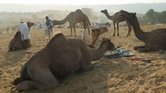 Pushkar camel fair, trading camels, desert camp, feeding, India Stock Footage