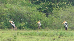 Painted Stork birds in Sri Lanka Stock Footage