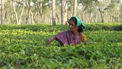 Bangladesh, a woman works in the tea estates of Srimangal Stock Footage