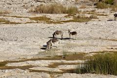 Wild ass in Wadi al Mayh - stock photo
