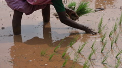 India, legs and arms of a woman planting rice in a paddy field Stock Footage