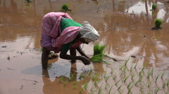 Rural scene in India, a woman plants rice in a paddy field - stock footage