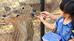 Cute Asian Girl Feeding To Sambar Deer (Cervus unicolour) in Zoo Stock Footage