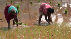 India, women plant rice in paddy fields, agriculture, rural scene - stock footage