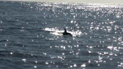Killer whale swimming with dolphins in north Atlantic ocean. Stock Footage