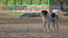 India, stray dog barking on the beach, old hotels, eerie atmosphere Stock Footage