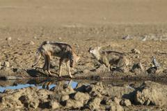 Two black backed jackals play flight at a waterhole, Kalahari desert - stock photo
