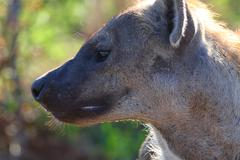 CU spotted hyena looking, Kruger National Park, South Africa - stock photo