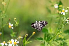 The Dark Glassy Tiger butterfly  on a flower Stock Photos
