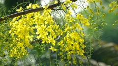 Cassia flowers are moving Stock Footage