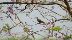 Spotted dove is resting on the Jacaranda tree Stock Footage