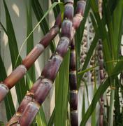 Sugarcane stalks grow at beside wall Stock Photos