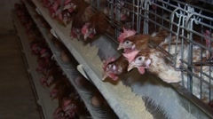 Layer hens on egg farm Stock Footage
