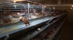 Stock Video Footage of Hens eating and lay eggs in coop