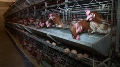 Housing system for egg-laying hens - stock footage